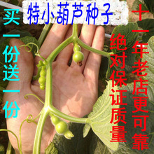 20粒b8正特(小)手捻w8美国迷你阳台文把玩盆栽草里金铁包金