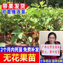 树苗水be苗木可盆栽ke北方种植当年结果可选带果发货