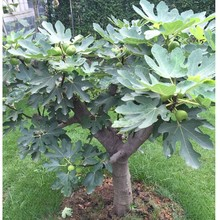 无花果be苗南北方室ke四季矮化盆栽庭院地栽苗耐寒当年结果苗