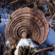 野生无bj赤芝250nb可切赤灵芝木灵芝特大巨大长白山直发