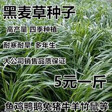 进口牧草种子南方多年生黑麦草bl11籽北方en蓿牧草四季养殖
