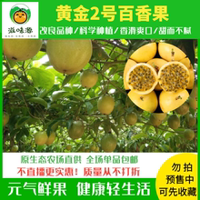 黄金5bl包邮广东一em3纯甜特级水果新鲜现摘鸡蛋白香果