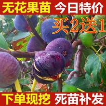 无花果bu苗盆栽果树fi方种植地栽四季阳台当年结果苗