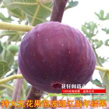 无花果bw果苗四季盆la种果苗带果特大波姬红当年结果