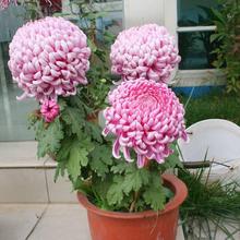 盆栽大bz栽室内庭院xw季菊花带花苞发货包邮容易
