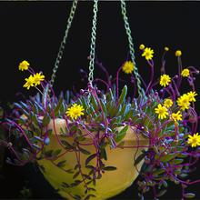 长藤式绿萝盆栽大叶垂吊植物室内吸除ca14醛水培os水养绿植