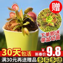 捕蝇草食的花猪笼草盆栽食虫ca10物食蝇sp膏菜种子室内阳台