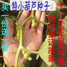 20粒纯正特小手捻葫芦种