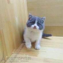 自家养出售英短蓝白宠物猫纯种ch11国短毛er幼猫活体包邮w