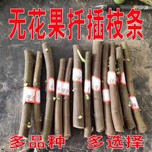 无花果ch插枝条果树li枝条接穗新品种波姬红四季种植