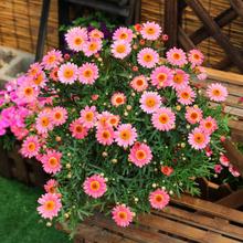 玛格丽co盆栽花苗菊ri盆栽庭院植物阳台花卉绿植耐养开花植物
