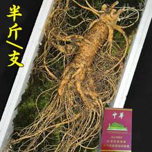 长白山co的参新鲜特ri0g带土鲜参单支半斤250克东北的参