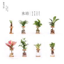 水培植co办公室内绿ri桌面绿植文竹水养花卉好养四季玻璃瓶皿