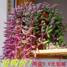 紫弦月co肉植物紫玄pu吊兰佛珠花卉盆栽办公室防辐射珍珠吊兰