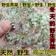 莒南野co老荠菜过冬st现挖农村特产土特产整棵带根带花老荠