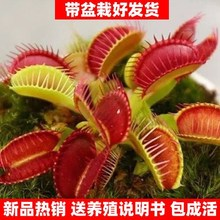 捕蝇草种cp1含羞草盆ky内四季奇趣植物花卉种子盆栽植物花籽