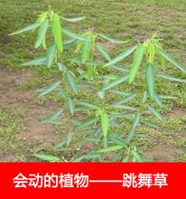 跳舞草种cw1 会动的st台观叶植物种子奇趣盆栽观叶花卉植物