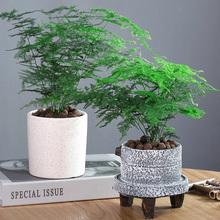 文竹盆da植物室内花wo栽水培养办公室桌面绿植四季常青吸甲醛