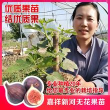 嘉祥新da无花果树苗is果盆栽单果大卖相好阳台新品种
