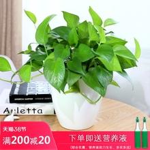 绿萝盆栽盆栽植物 室内 da9化空气植sm藤吊兰(小)盆景包邮