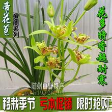 浓香带花苞兰花苗兰草da7室内花卉sm盆景四季兰常绿吊兰包邮