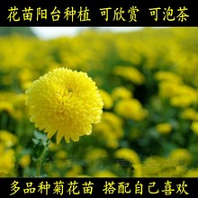 花苗迷de花卉盆栽绿or用泡茶菊花(小)苗室内外好养易活
