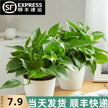绿萝长de吊兰办公室mo(小)盆栽大叶绿植花卉水养水培土培植物