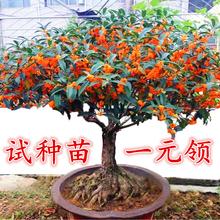 嫁接桂花盆栽盆景地栽de7花树苗四mo丹桂阳台庭院浓香型花卉