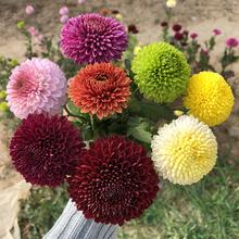 进口阳de盆栽乒乓鲜si球形菊花四季开花植物美的菊包邮