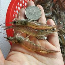 6厘米di对虾淡水(小)de冻餐饮快餐喂金龙鱼乌龟饲料一斤