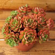 拼购园dp多肉蒂亚多p8盆栽花卉绿植云南露养老绿焰桩办公室
