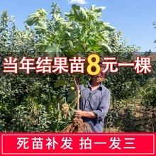 无花果du果苗盆栽地an结果特大新疆四季种植波姬红树
