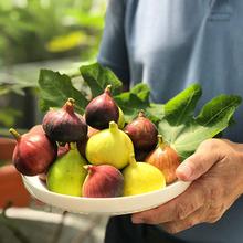 无花果du栽苗波姬红an果多品种浆果先生一加仑家庭果蔬水果苗