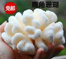 包邮天然海螺贝壳白珊瑚石菜花鹿ea12珊瑚鱼th装饰摆件饰品