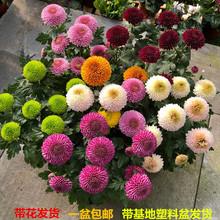 盆栽重ed球形菊花苗ao台开花植物带花花卉花期长耐寒