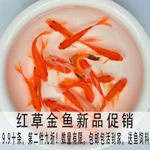 红草金长尾草金鱼en5鲤鱼淡水en练手鱼观赏鱼(小)型冷水鱼活体
