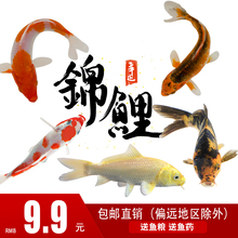鱼苗观赏鱼冷en3淡水(小)型en鱼金鱼活体纯种锦鲤(小)鱼苗草金