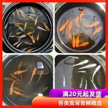 观背青�迷你鱼活体fo6赏鱼冷水oa生鱼微型锦鲤(小)型灯鱼淡水