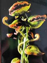 超大捕蝇草食虫植物猪fo7草花绿植nd子阳台室内趣味家居盆栽
