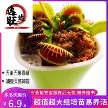 捕蝇草盆栽食的花食虫草猪fw9草捕虫草gs种子 驱蚊植物