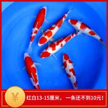 日本纯种进口 红白活体锦鲤g410苗 观g4鱼金鱼69包邮鱼饲料