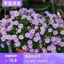 [genku]塔莎的花园 姬小菊盆栽带