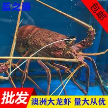 新鲜澳洲大龙虾鲜活青龙红