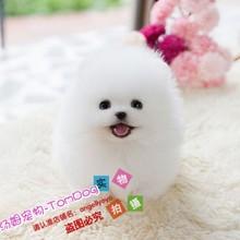 出售纯种茶杯犬博美犬幼gs8活体袖珍sw美俊介犬宠物狗训练y