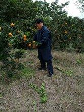 四川农gu自产自销塔an0斤红橙子新鲜当季水果包邮