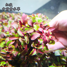 淡水鱼缸活体hi3的坨草红lu中前景有茎类红色新手入门