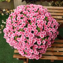 菊花盆hm千头球菊雏vo庭院阳台花卉绿植多年生开花植物