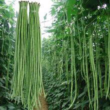 四季播摘不败ht3产豇豆种uz长豆角春播架豆蔬菜四季豆种籽