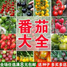 千禧番茄圣女ht3种子圣女zq春季四季番茄沙瓤盆栽庭院阳台