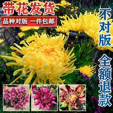 盆栽带hu苞四季开花ks物耐寒大花(小)花九月秋菊乒乓球菊
